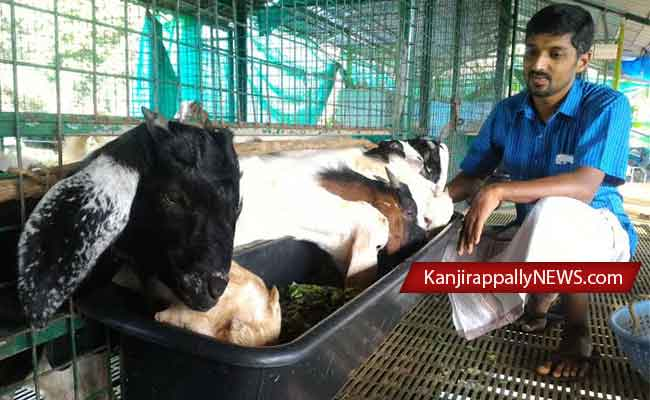 goat-farm-sojan4